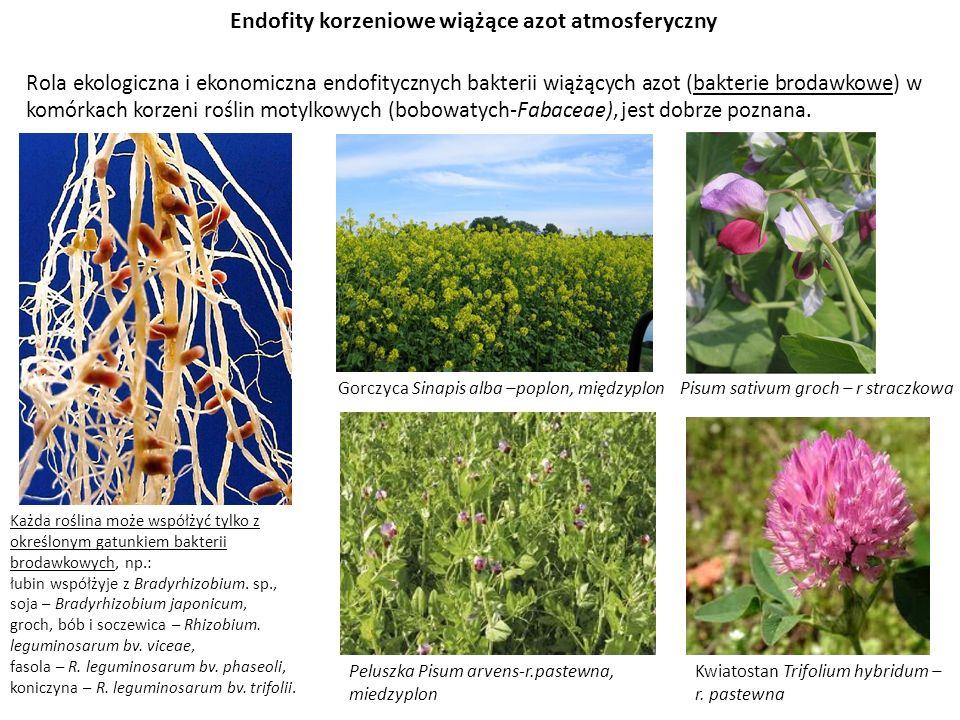 Endofity korzeniowe wiążące azot atmosferyczny
