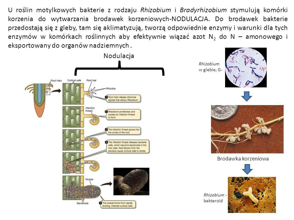 U roślin motylkowych bakterie z rodzaju Rhizobium i Bradyrhizobium stymulują komórki korzenia do wytwarzania brodawek korzeniowych-NODULACJA. Do brodawek bakterie przedostają się z gleby, tam się aklimatyzują, tworzą odpowiednie enzymy i warunki dla tych enzymów w komórkach roślinnych aby efektywnie wiązać azot N2 do N – amonowego i eksportowany do organów nadziemnych .