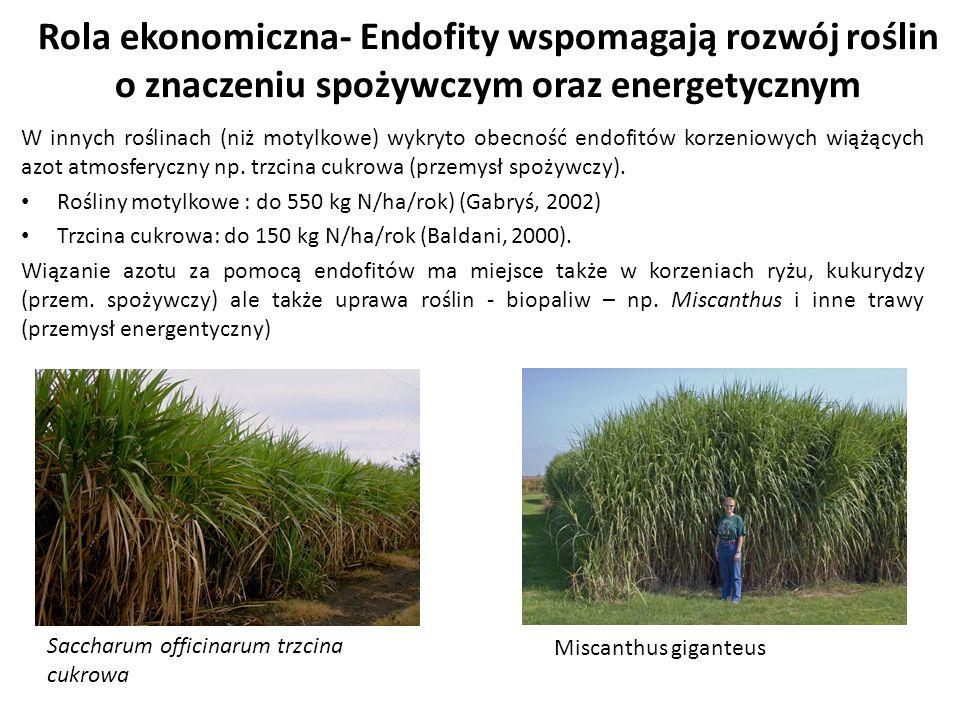 Rola ekonomiczna- Endofity wspomagają rozwój roślin o znaczeniu spożywczym oraz energetycznym
