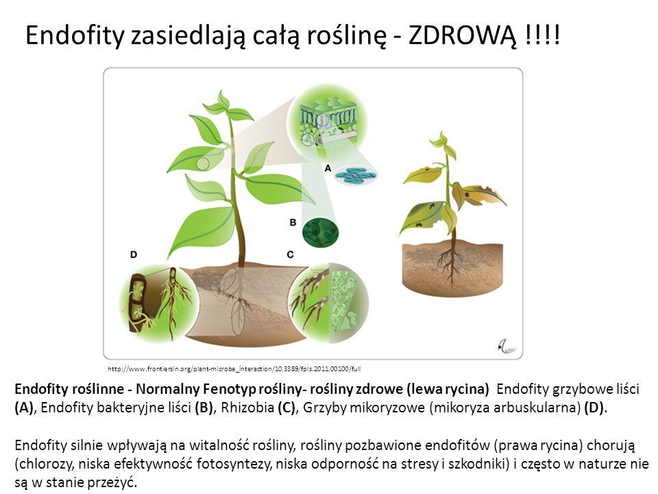 Endofity zasiedlają całą roślinę - ZDROWĄ !!!!