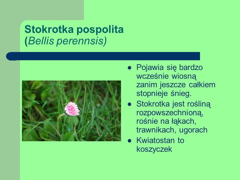 Stokrotka pospolita (Bellis perennsis)