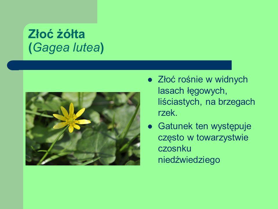 Złoć żółta (Gagea lutea)