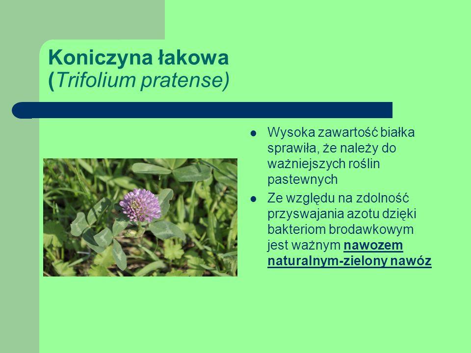Koniczyna łakowa (Trifolium pratense)