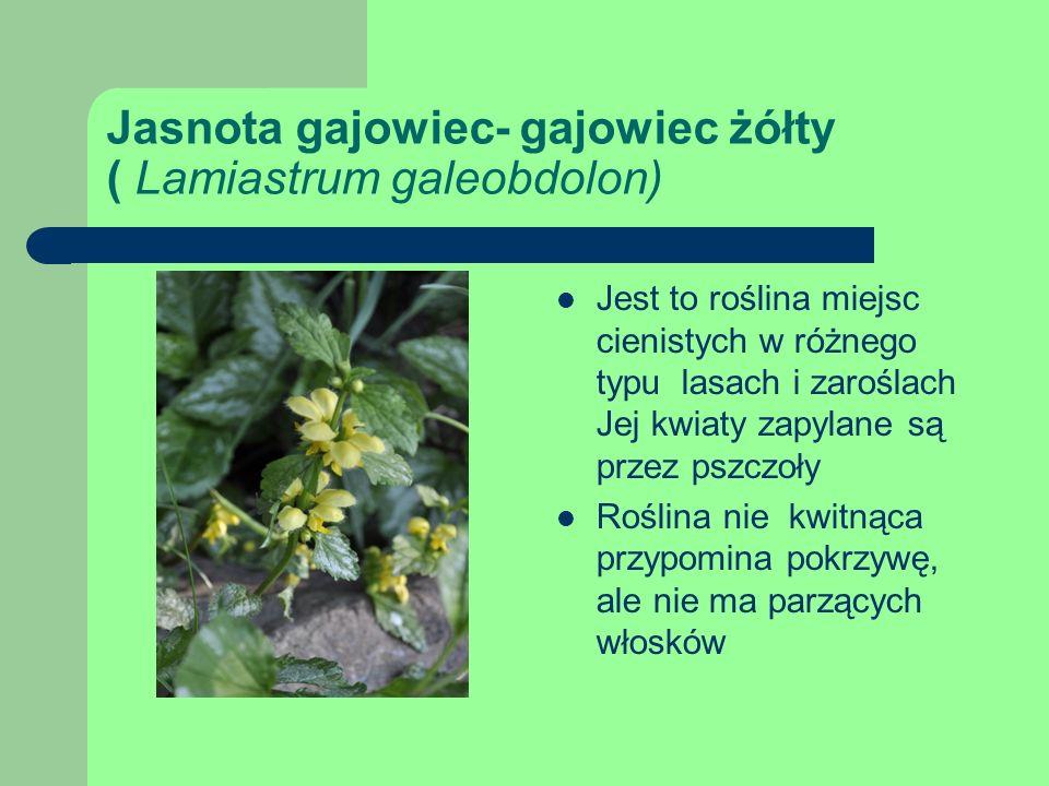 Jasnota gajowiec- gajowiec żółty ( Lamiastrum galeobdolon)