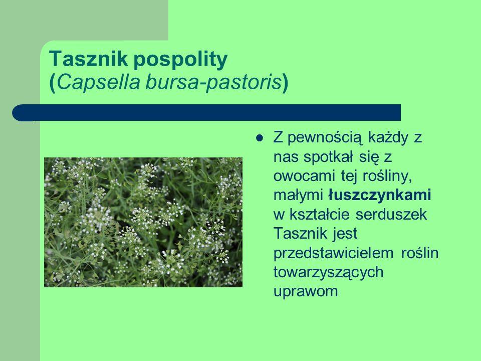 Tasznik pospolity (Capsella bursa-pastoris)