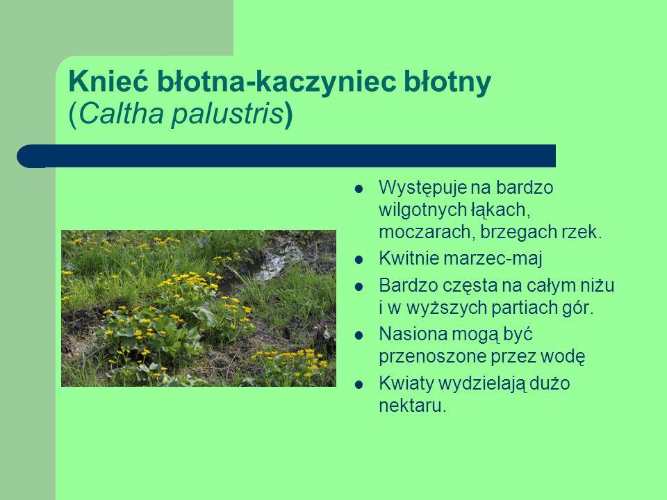 Knieć błotna-kaczyniec błotny (Caltha palustris)