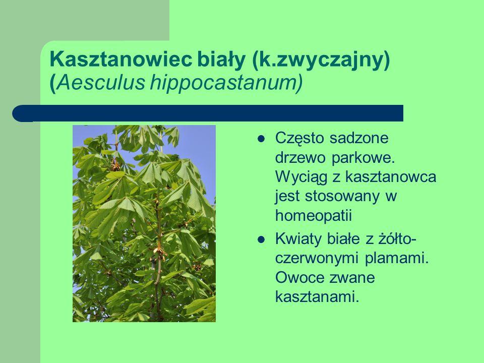 Kasztanowiec biały (k.zwyczajny) (Aesculus hippocastanum)