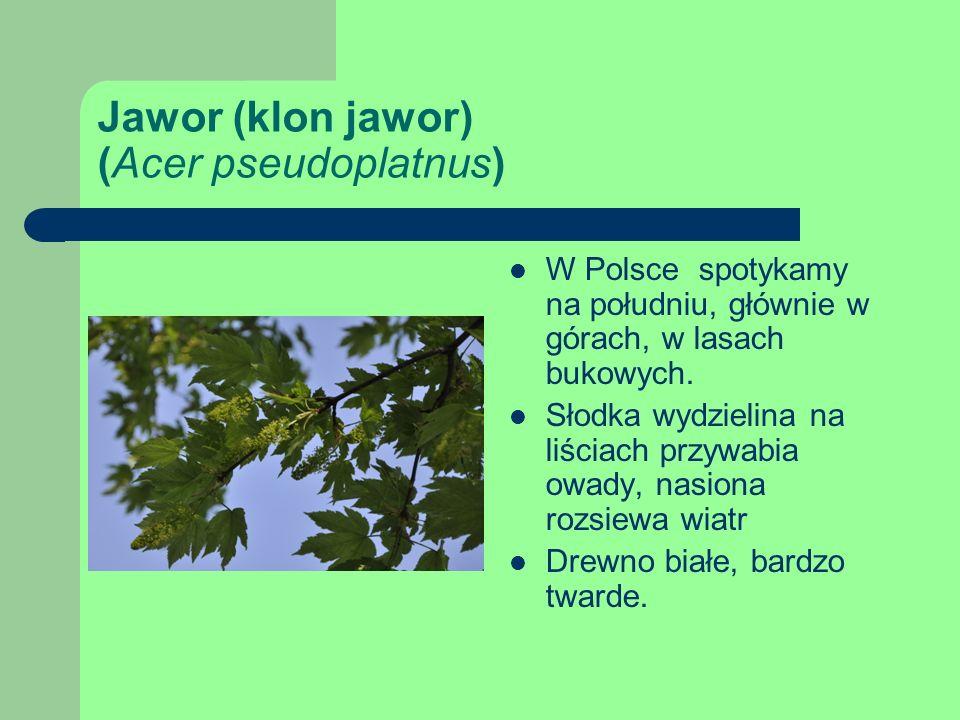 Jawor (klon jawor) (Acer pseudoplatnus)