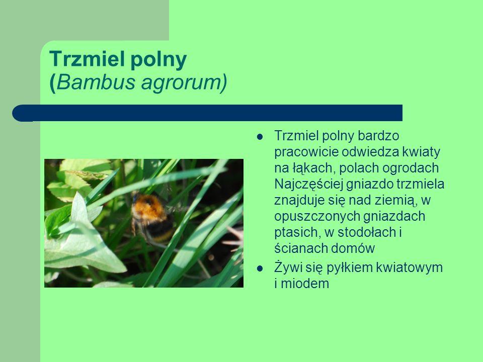 Trzmiel polny (Bambus agrorum)