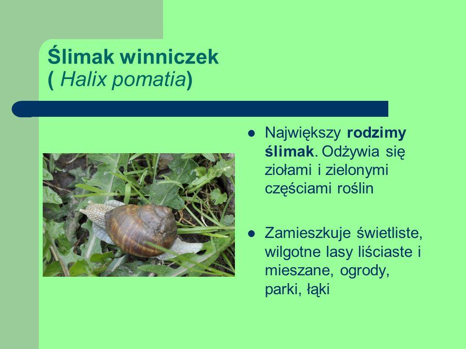 Ślimak winniczek ( Halix pomatia)