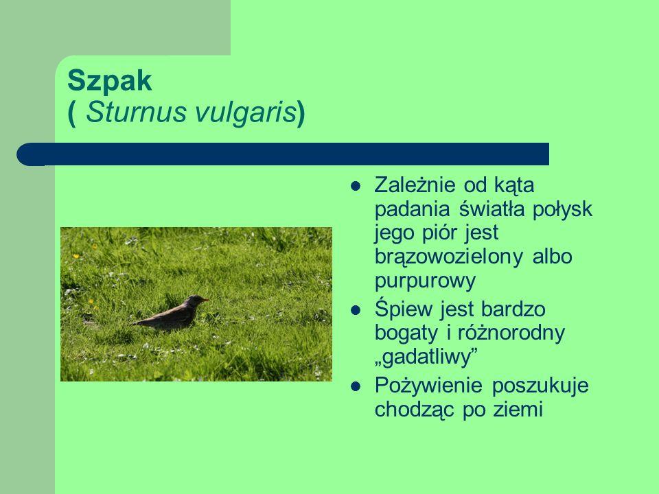 Szpak ( Sturnus vulgaris)