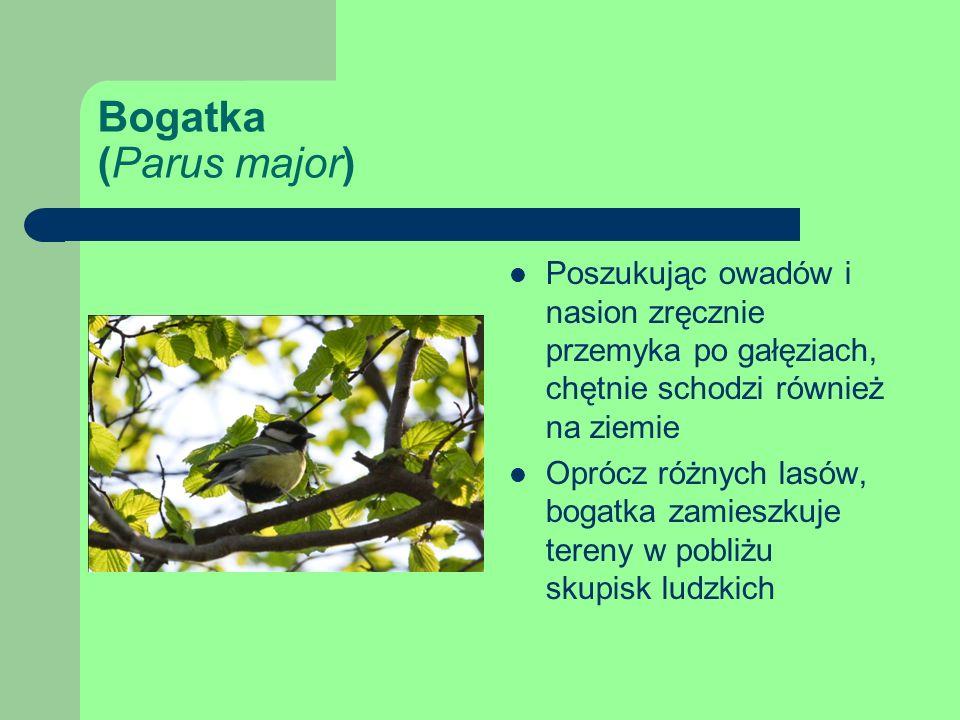 Bogatka (Parus major) Poszukując owadów i nasion zręcznie przemyka po gałęziach, chętnie schodzi również na ziemie.