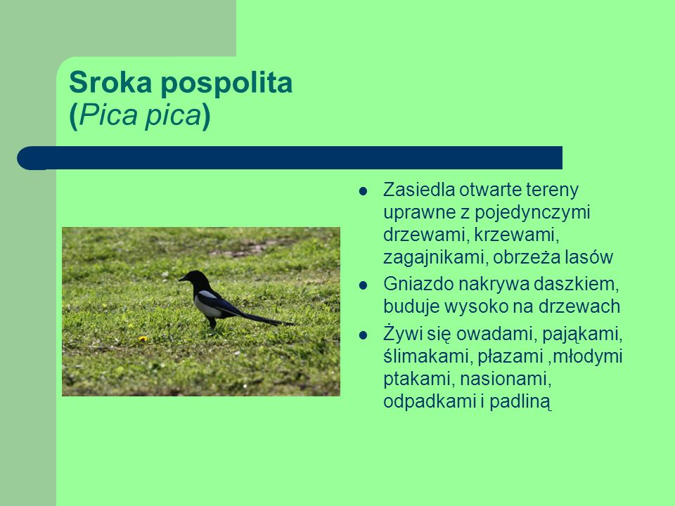 Sroka pospolita (Pica pica)