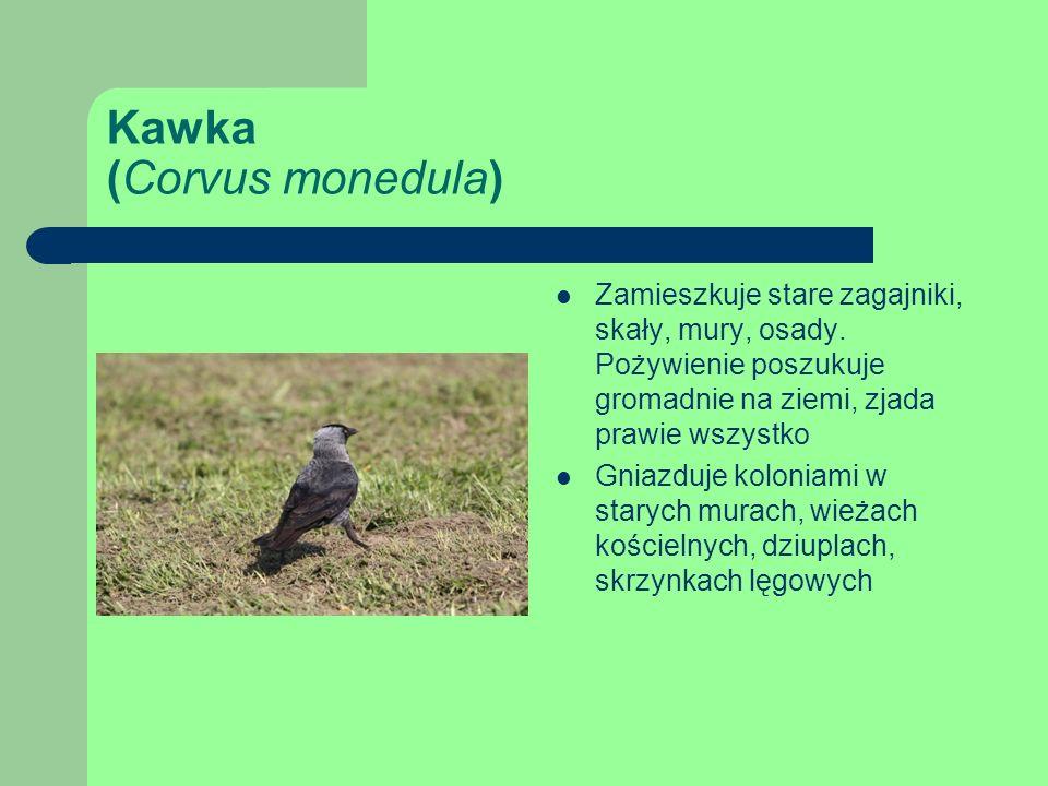 Kawka (Corvus monedula)