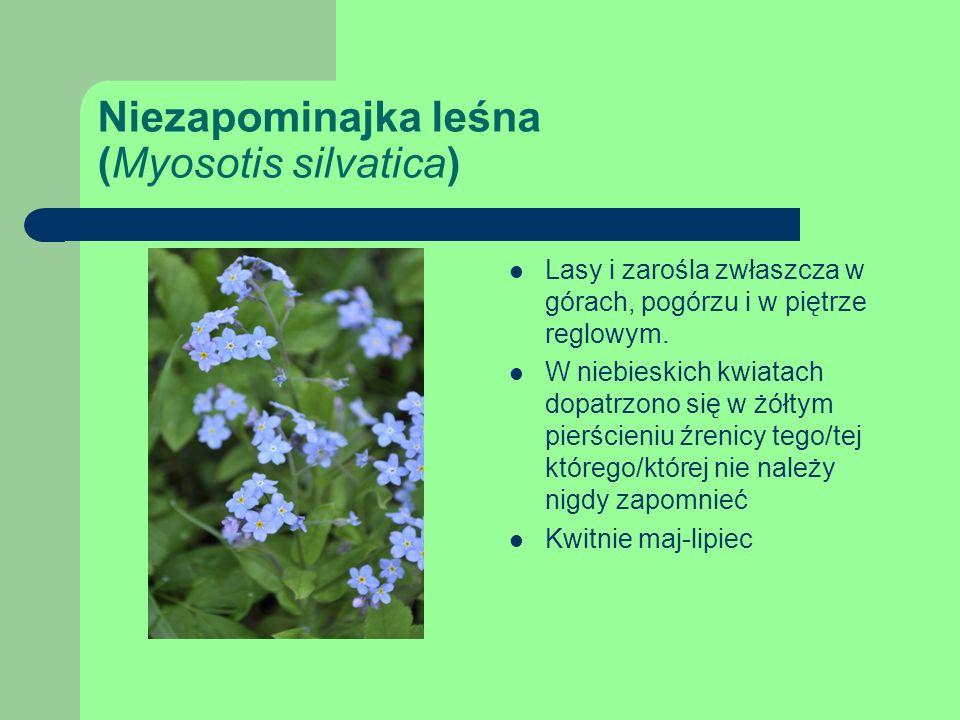 Niezapominajka leśna (Myosotis silvatica)