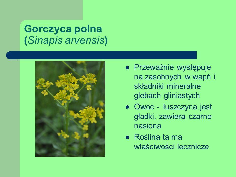 Gorczyca polna (Sinapis arvensis)