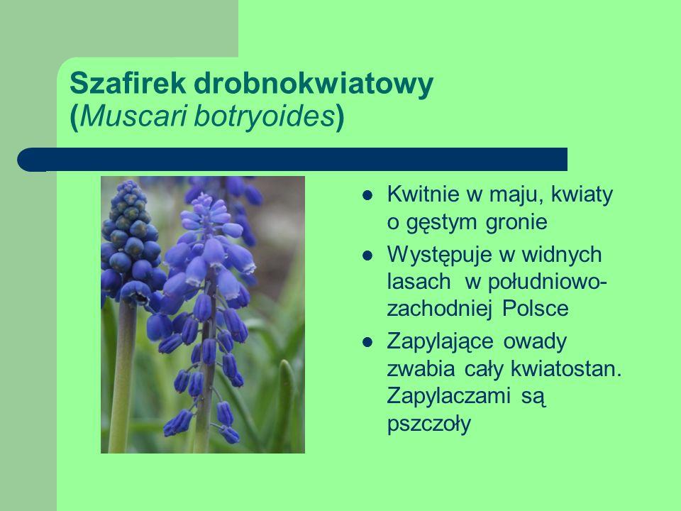 Szafirek drobnokwiatowy (Muscari botryoides)