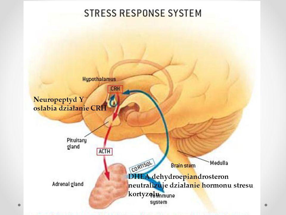 Neuropeptyd Y osłabia działanie CRH