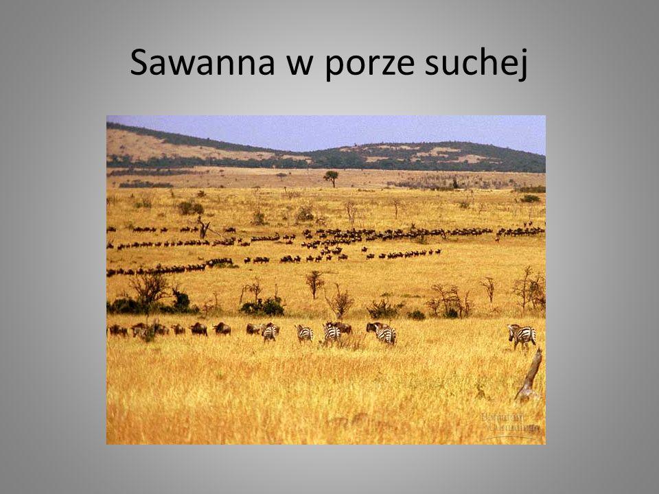 Sawanna w porze suchej
