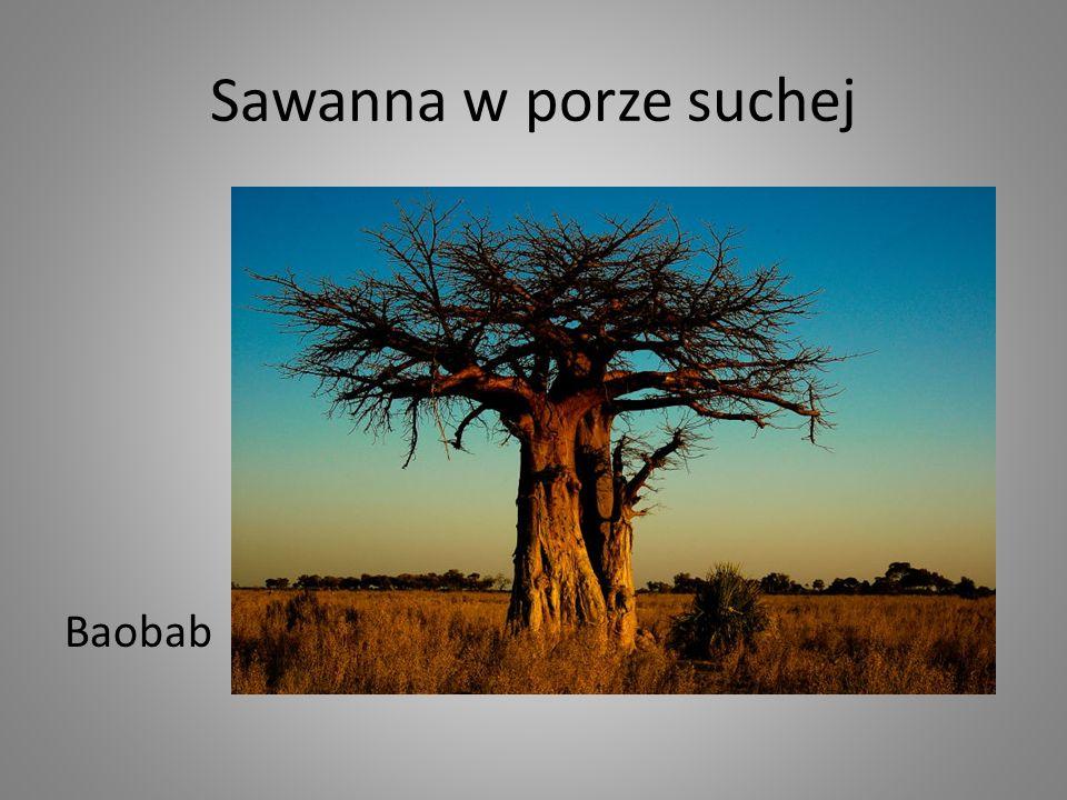 Sawanna w porze suchej Baobab