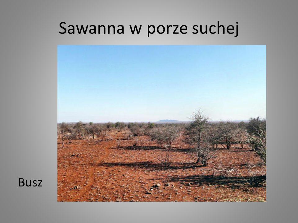 Sawanna w porze suchej Busz