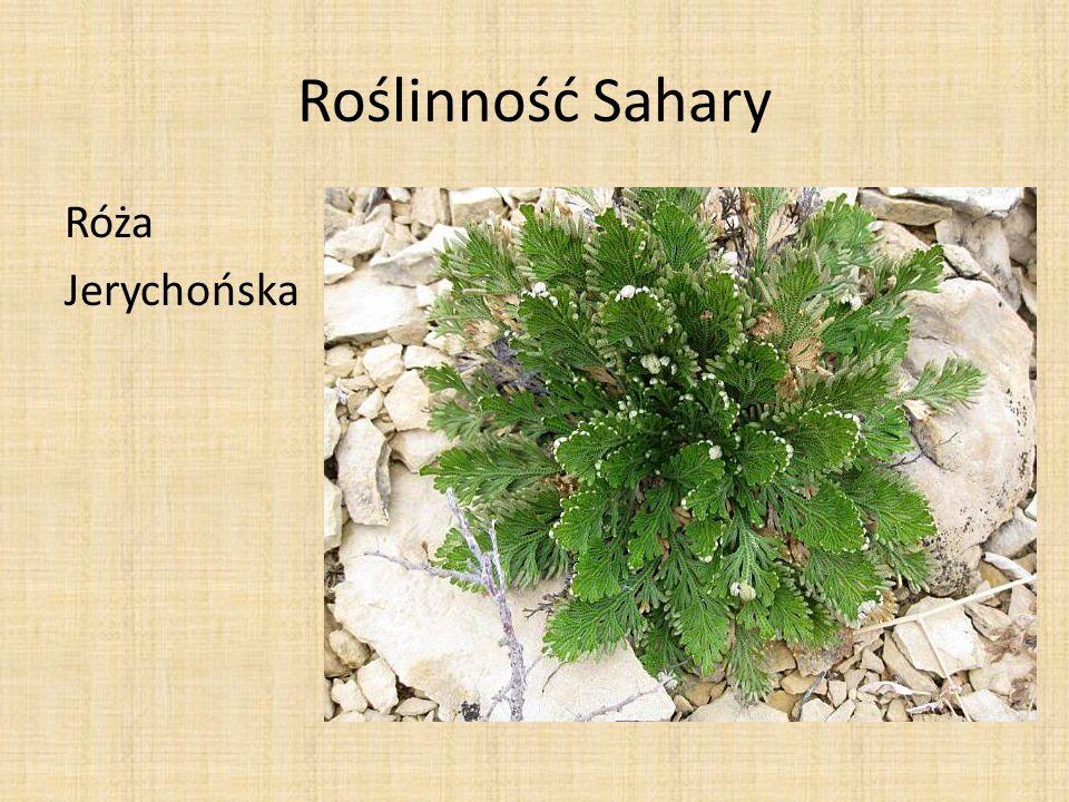 Roślinność Sahary Róża Jerychońska