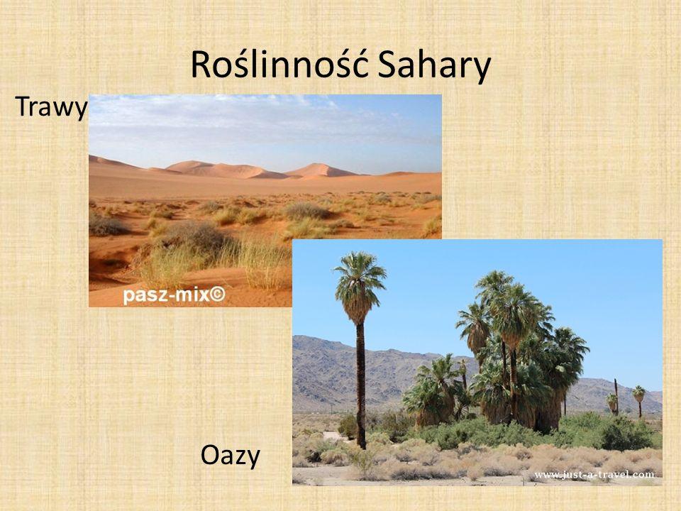 Roślinność Sahary Trawy Oazy