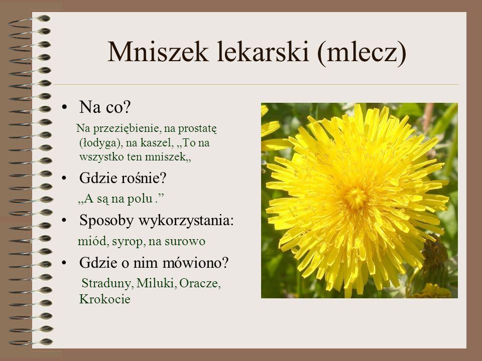 Mniszek lekarski (mlecz)