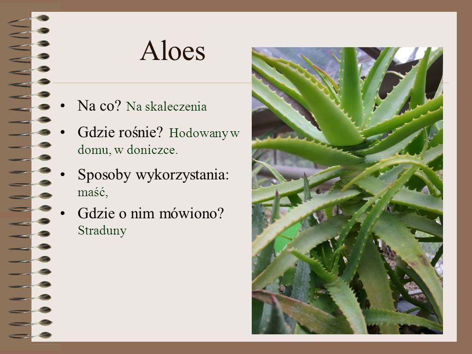 Aloes Na co Na skaleczenia Gdzie rośnie Hodowany w domu, w doniczce.