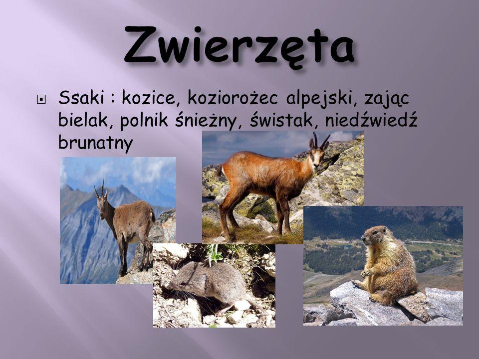 Zwierzęta Ssaki : kozice, koziorożec alpejski, zając bielak, polnik śnieżny, świstak, niedźwiedź brunatny.