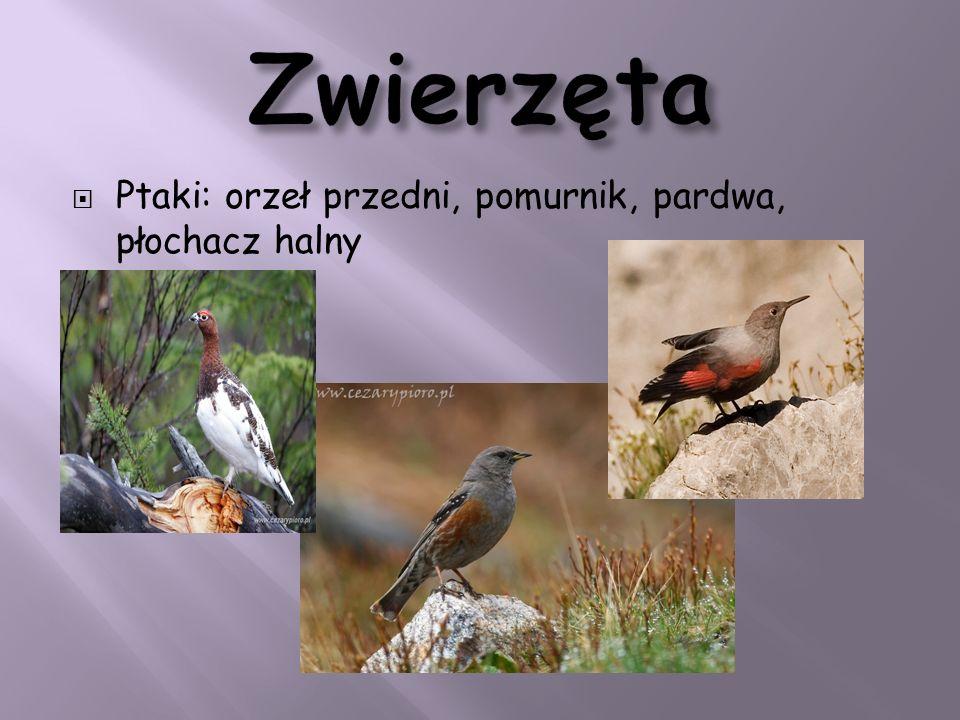 Zwierzęta Ptaki: orzeł przedni, pomurnik, pardwa, płochacz halny