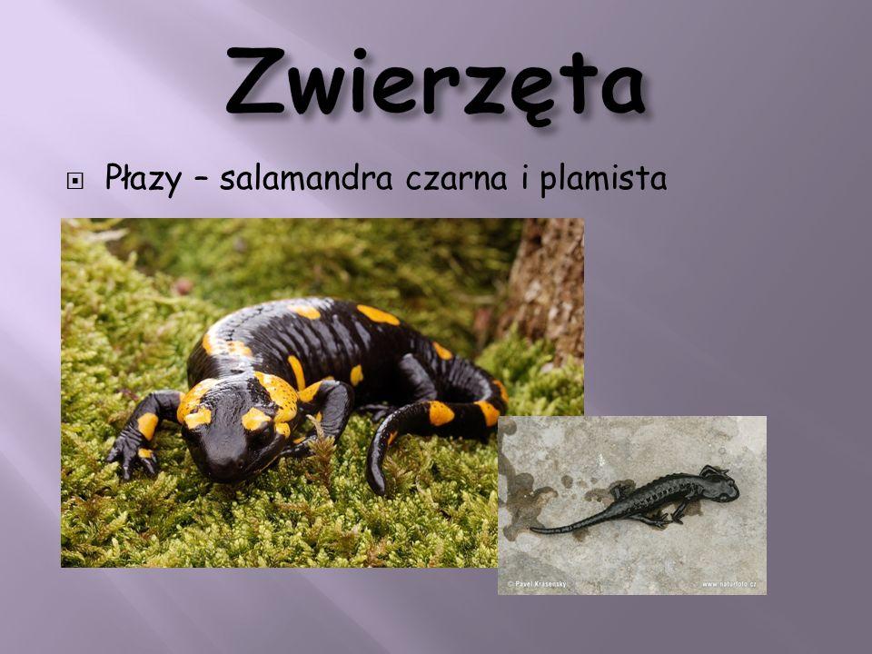Zwierzęta Płazy – salamandra czarna i plamista