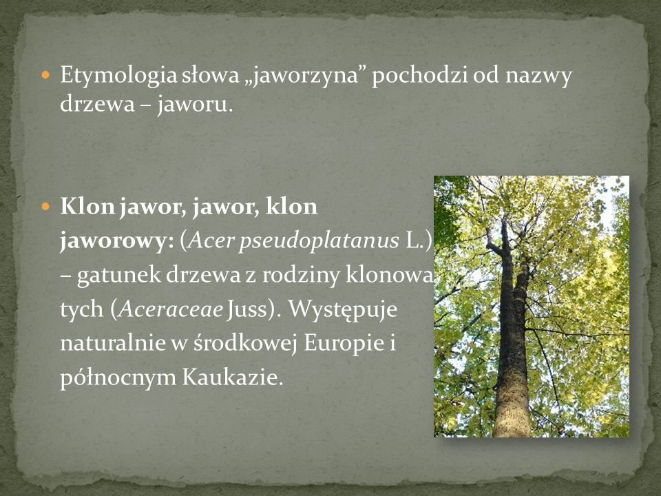 """Etymologia słowa """"jaworzyna pochodzi od nazwy drzewa – jaworu."""