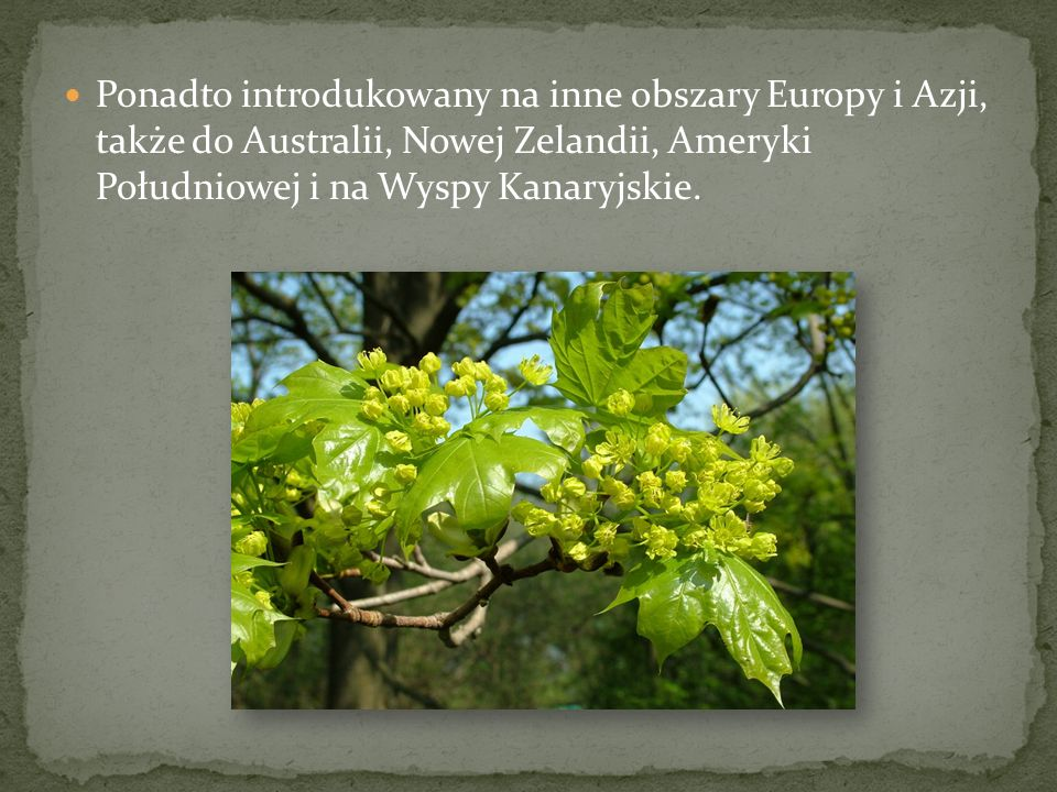 Ponadto introdukowany na inne obszary Europy i Azji, także do Australii, Nowej Zelandii, Ameryki Południowej i na Wyspy Kanaryjskie.