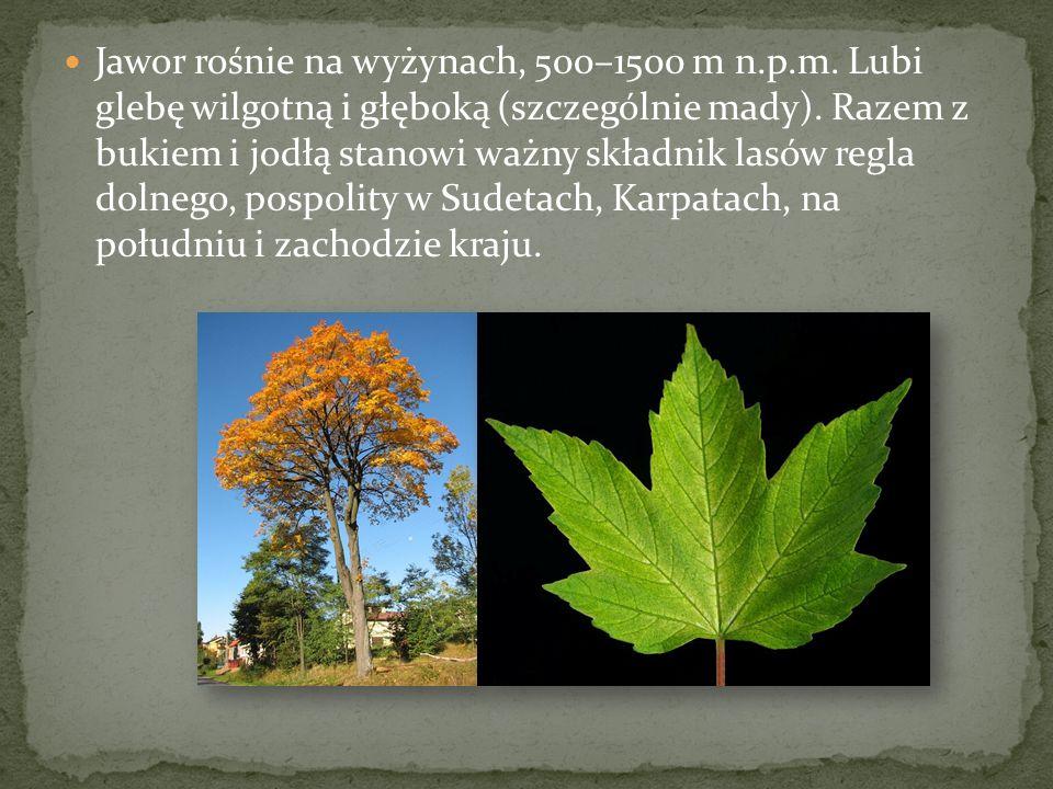 Jawor rośnie na wyżynach, 500–1500 m n. p. m