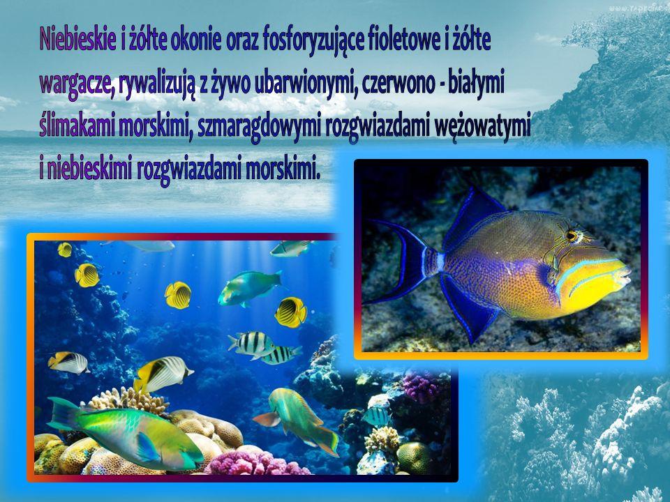 Niebieskie i żółte okonie oraz fosforyzujące fioletowe i żółte wargacze, rywalizują z żywo ubarwionymi, czerwono - białymi ślimakami morskimi, szmaragdowymi rozgwiazdami wężowatymi i niebieskimi rozgwiazdami morskimi.