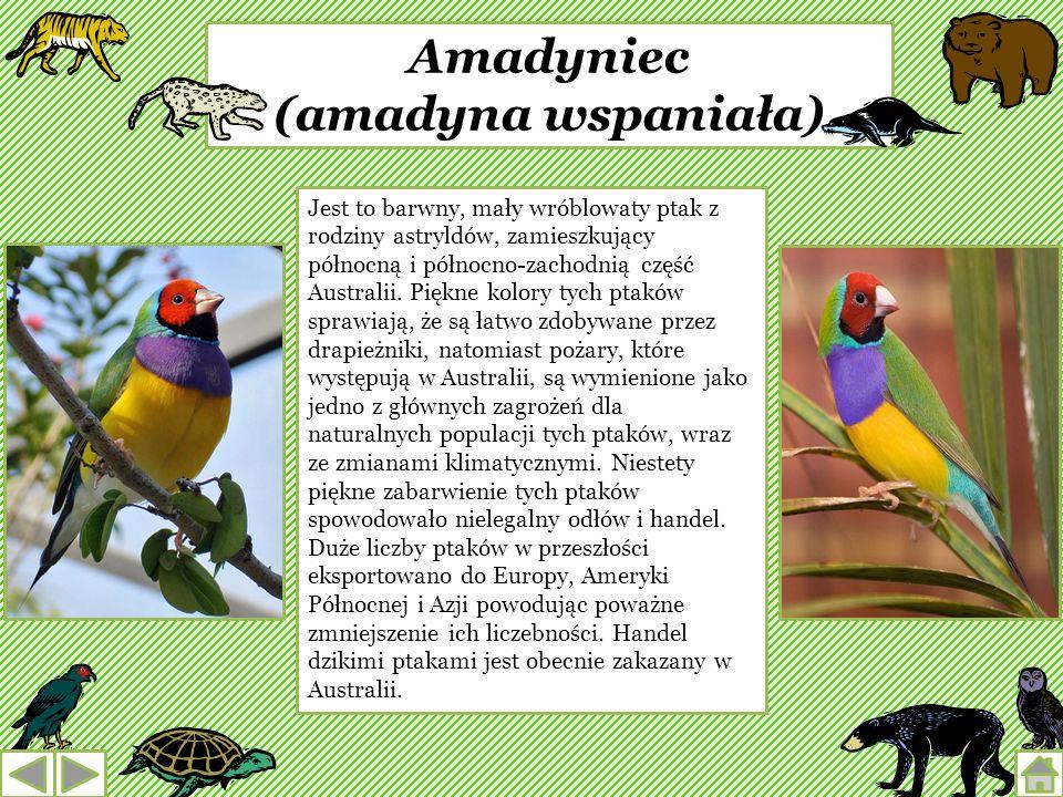 Amadyniec (amadyna wspaniała)