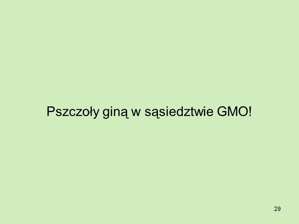 Pszczoły giną w sąsiedztwie GMO!
