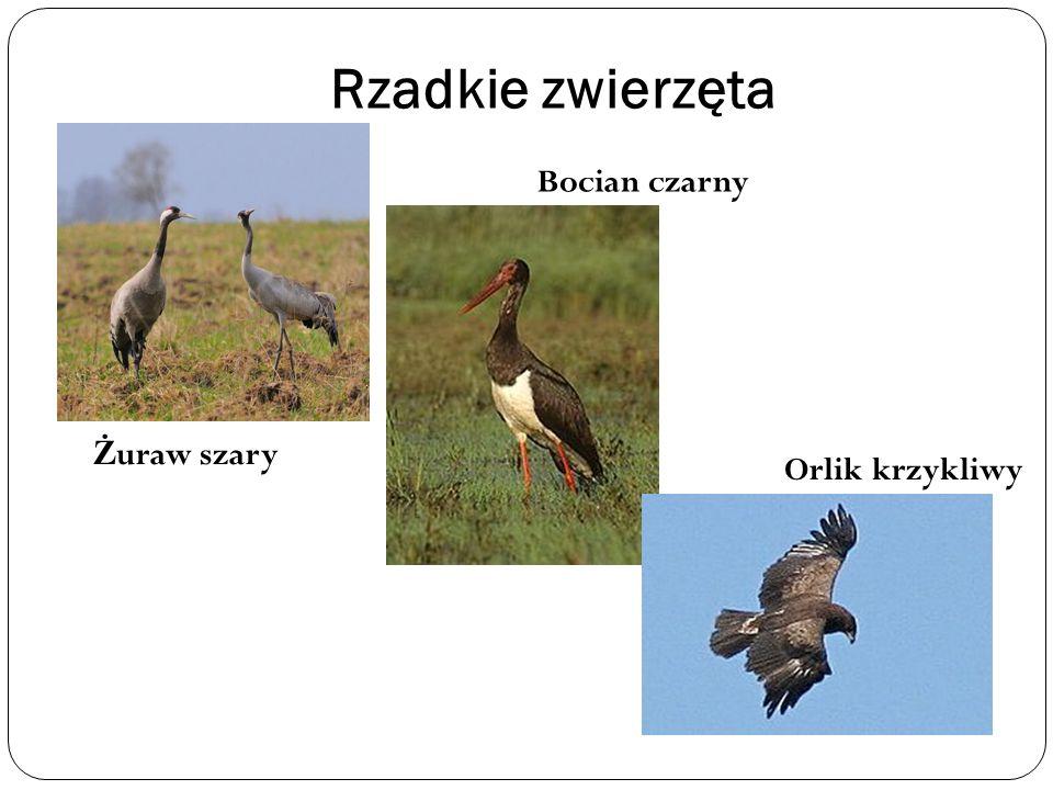 Rzadkie zwierzęta Bocian czarny Żuraw szary Orlik krzykliwy
