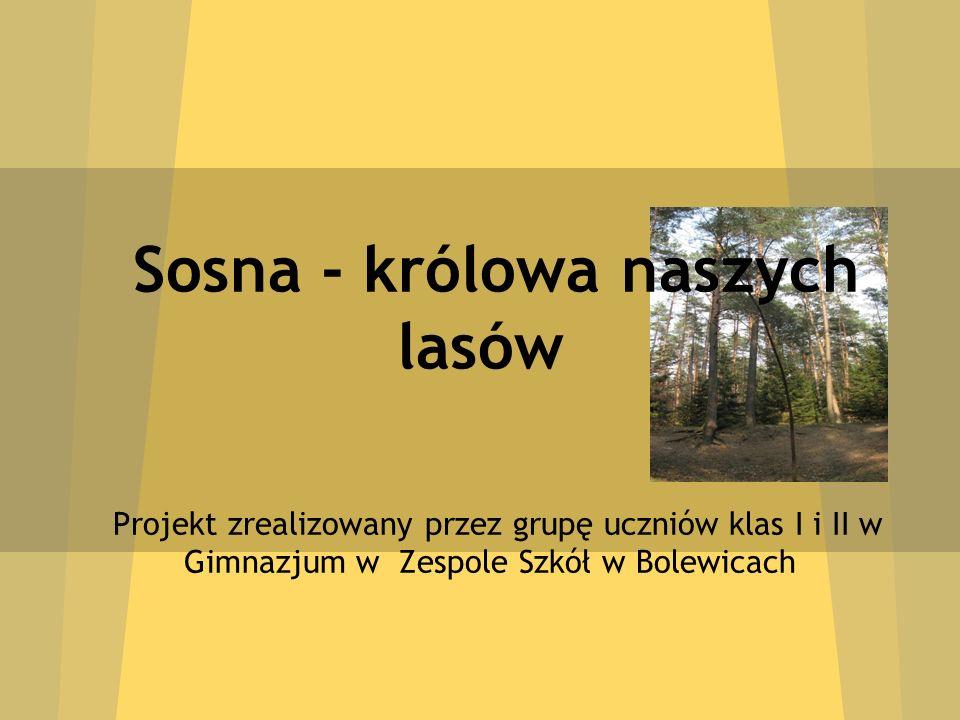 Sosna - królowa naszych lasów