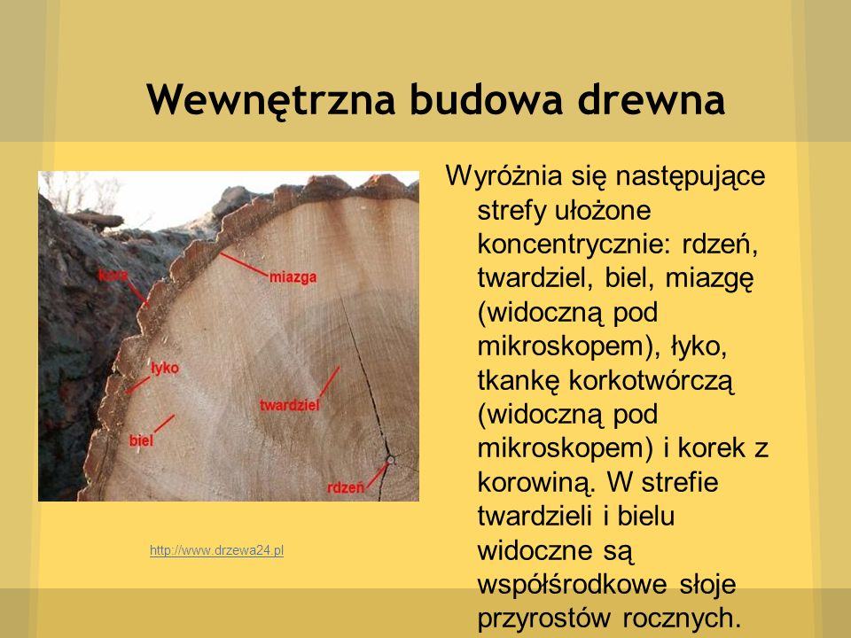 Wewnętrzna budowa drewna