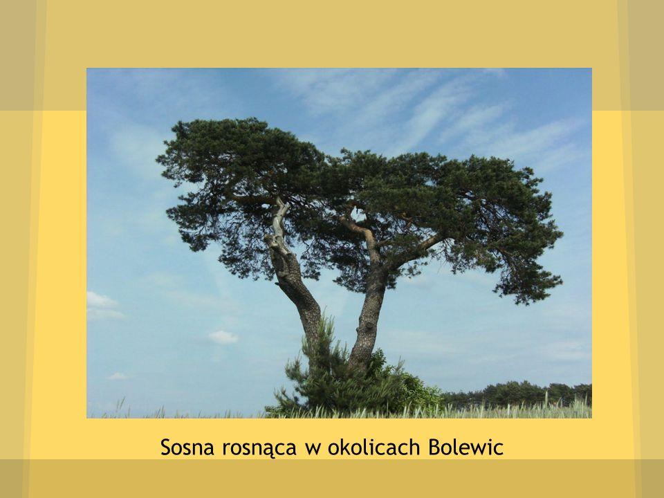 Sosna rosnąca w okolicach Bolewic