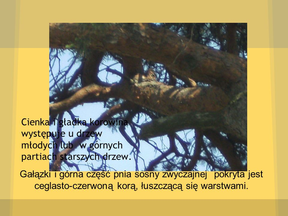Cienka i gładka korowina występuje u drzew młodych lub w górnych partiach starszych drzew.