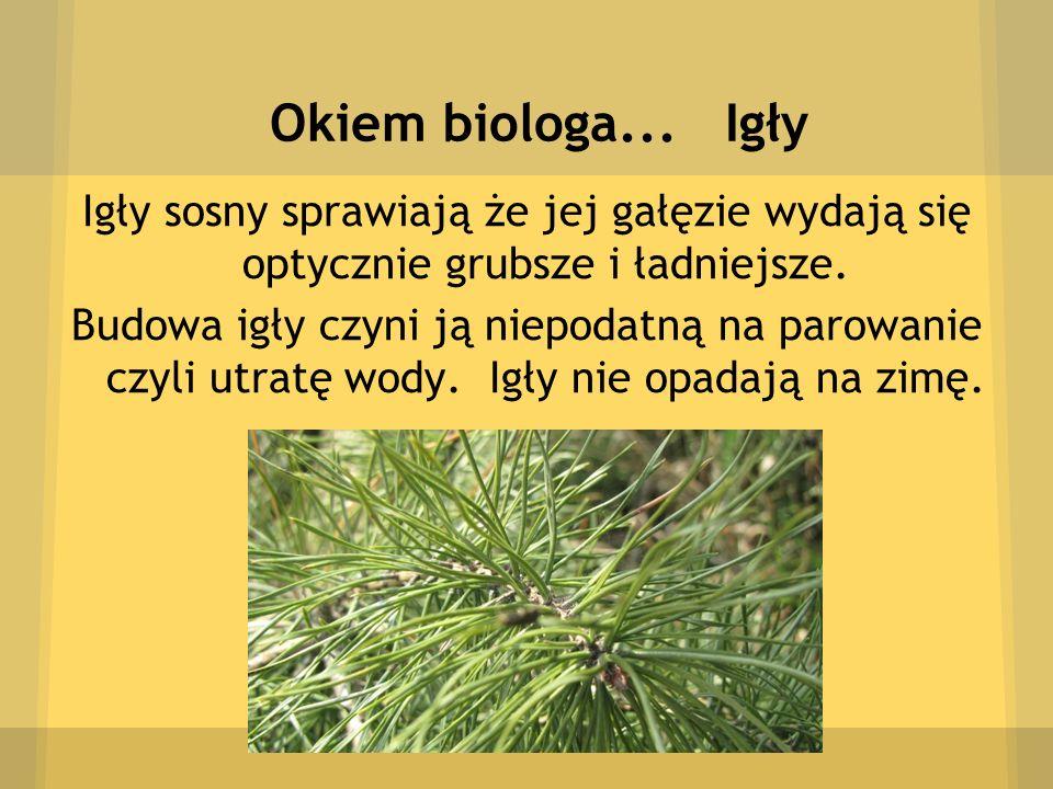 Okiem biologa... Igły Igły sosny sprawiają że jej gałęzie wydają się optycznie grubsze i ładniejsze.