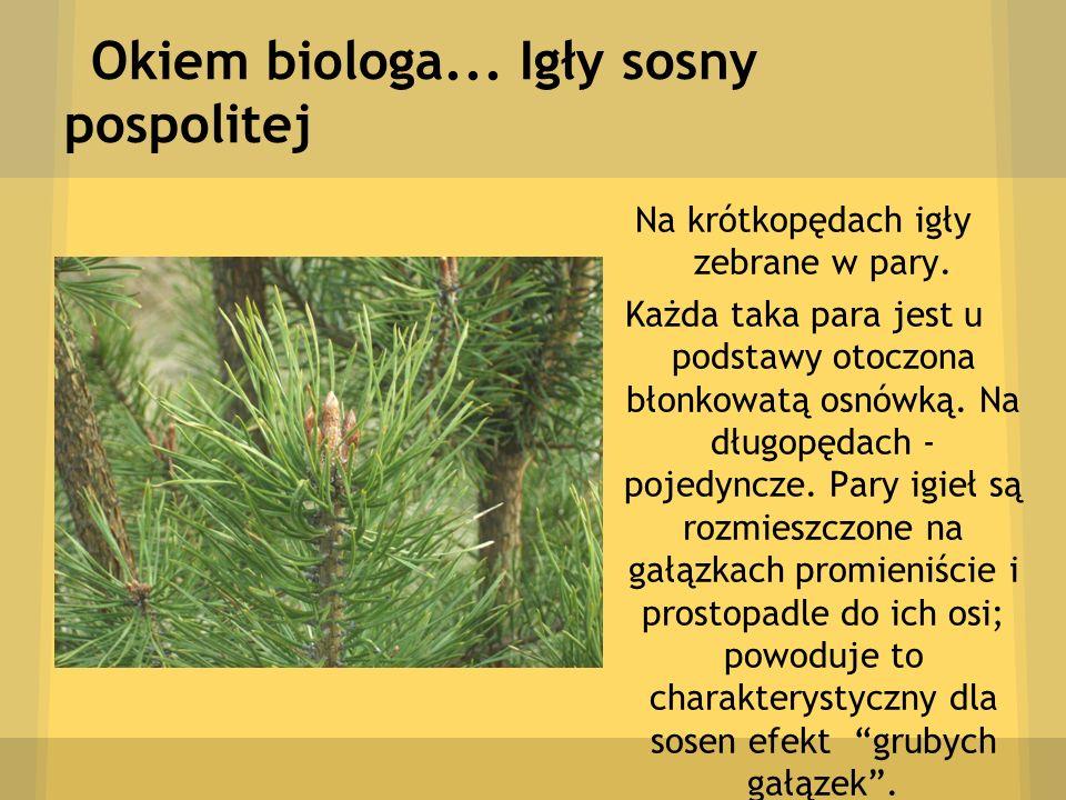Okiem biologa... Igły sosny pospolitej