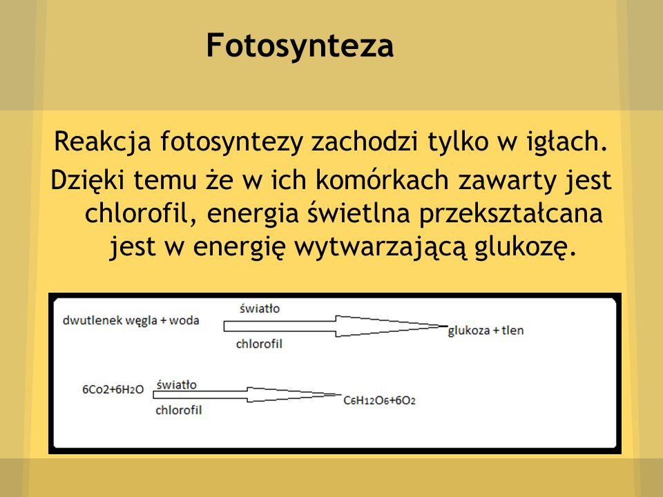 Reakcja fotosyntezy zachodzi tylko w igłach.