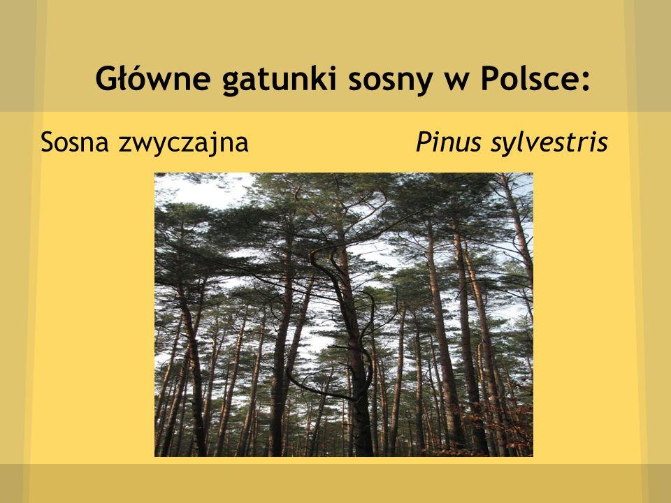 Główne gatunki sosny w Polsce: