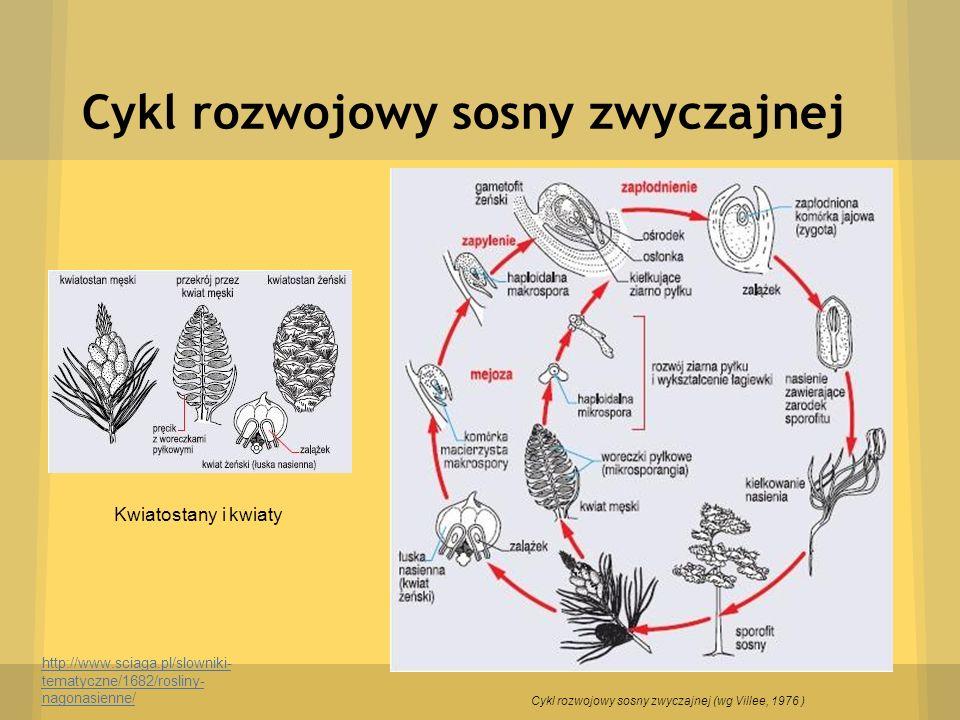 Cykl rozwojowy sosny zwyczajnej