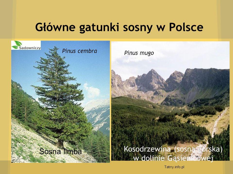 Główne gatunki sosny w Polsce