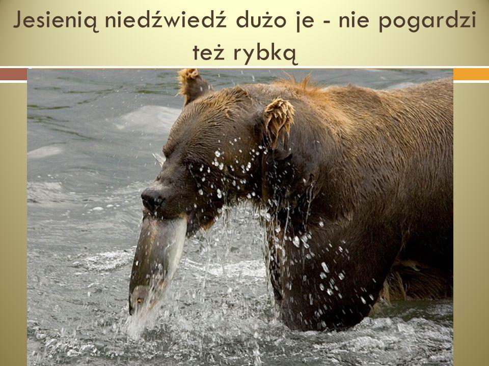 Jesienią niedźwiedź dużo je - nie pogardzi też rybką